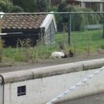 Kaniner på kajkanten