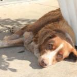 Trött hund som försöker svalka sig i skuggan